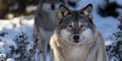 Волк обои